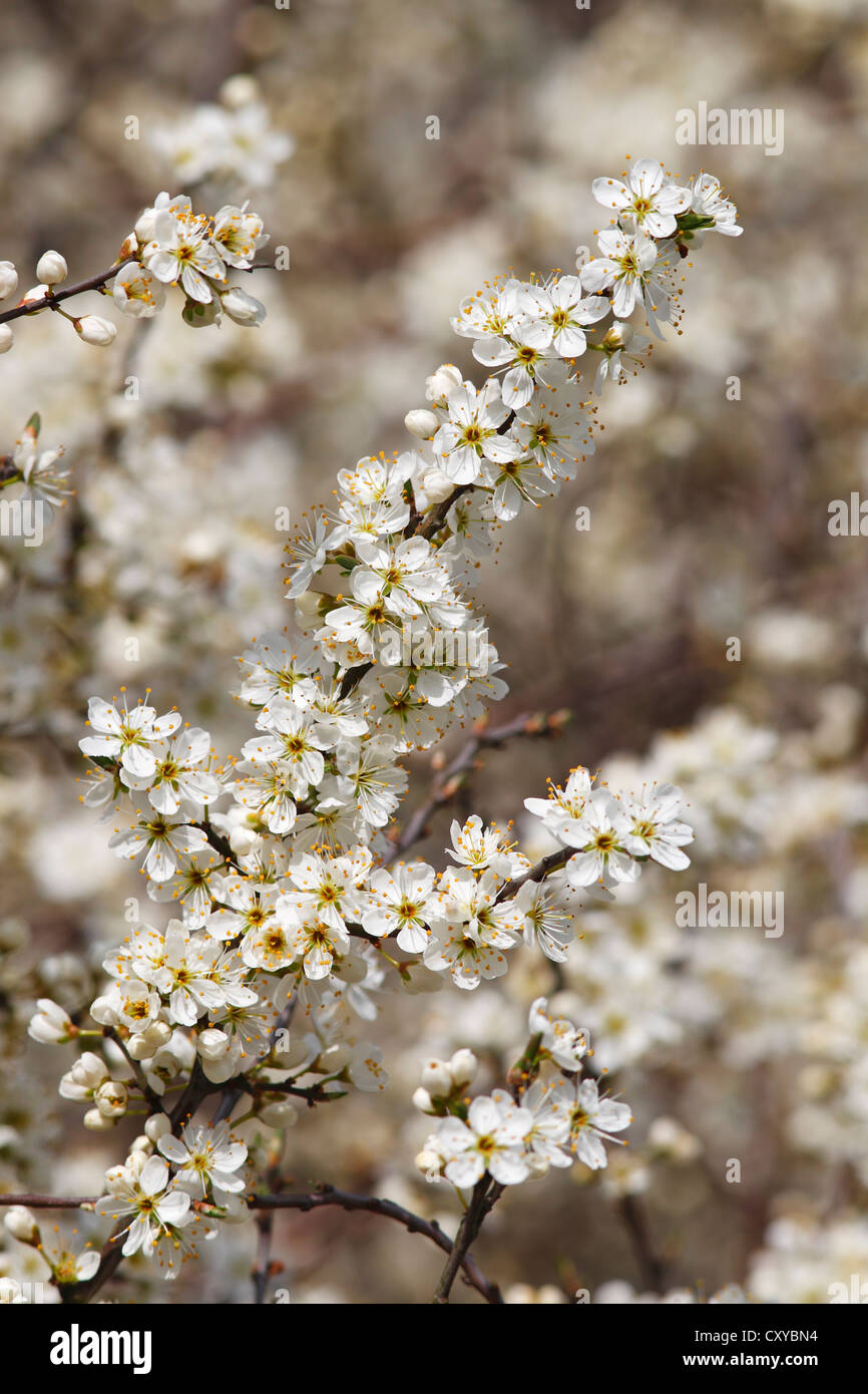 Flowering Blackthorn or Sloe (Prunus spinosa) - Stock Image