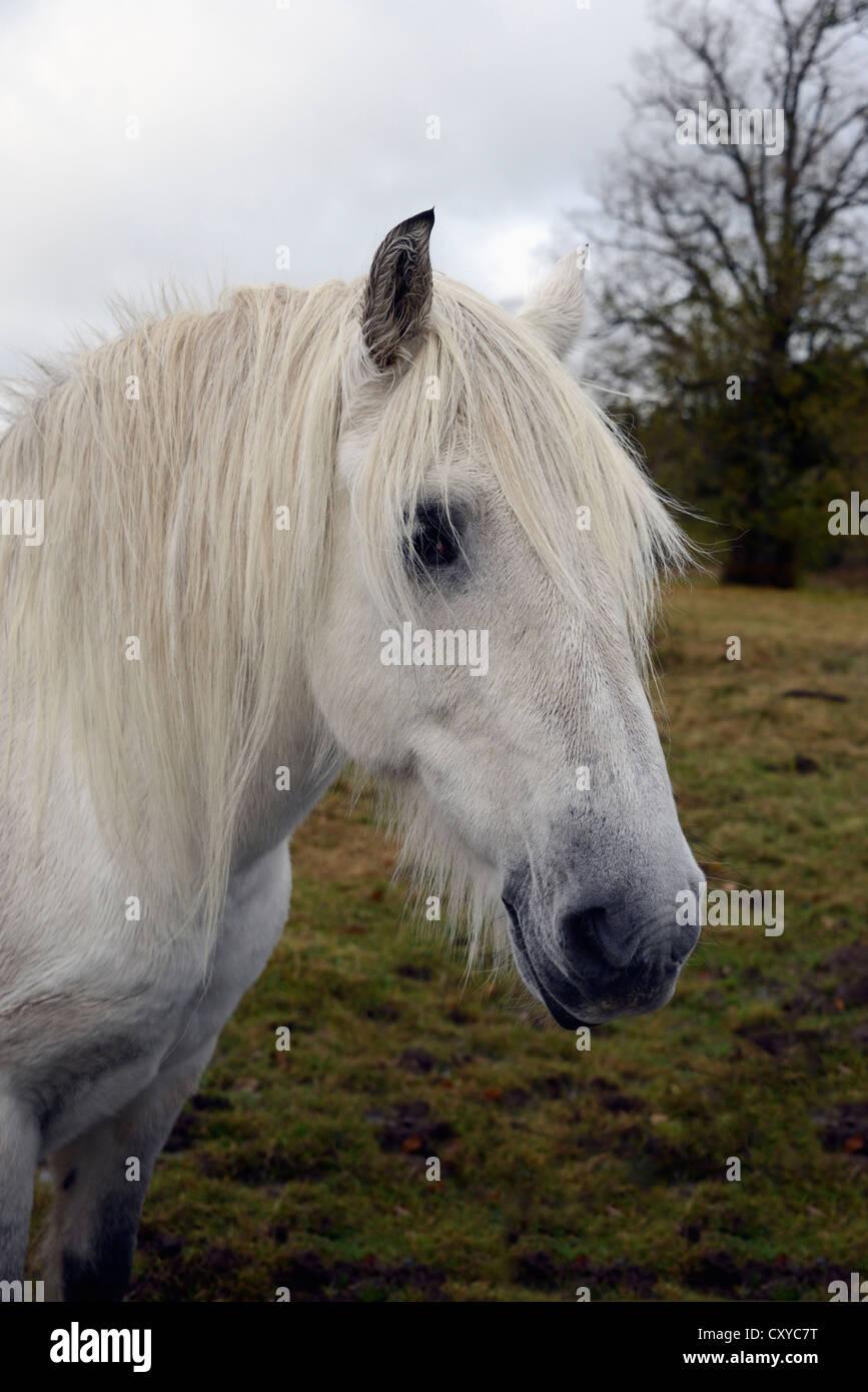 Head of a grey Highland Pony gelding. - Stock Image