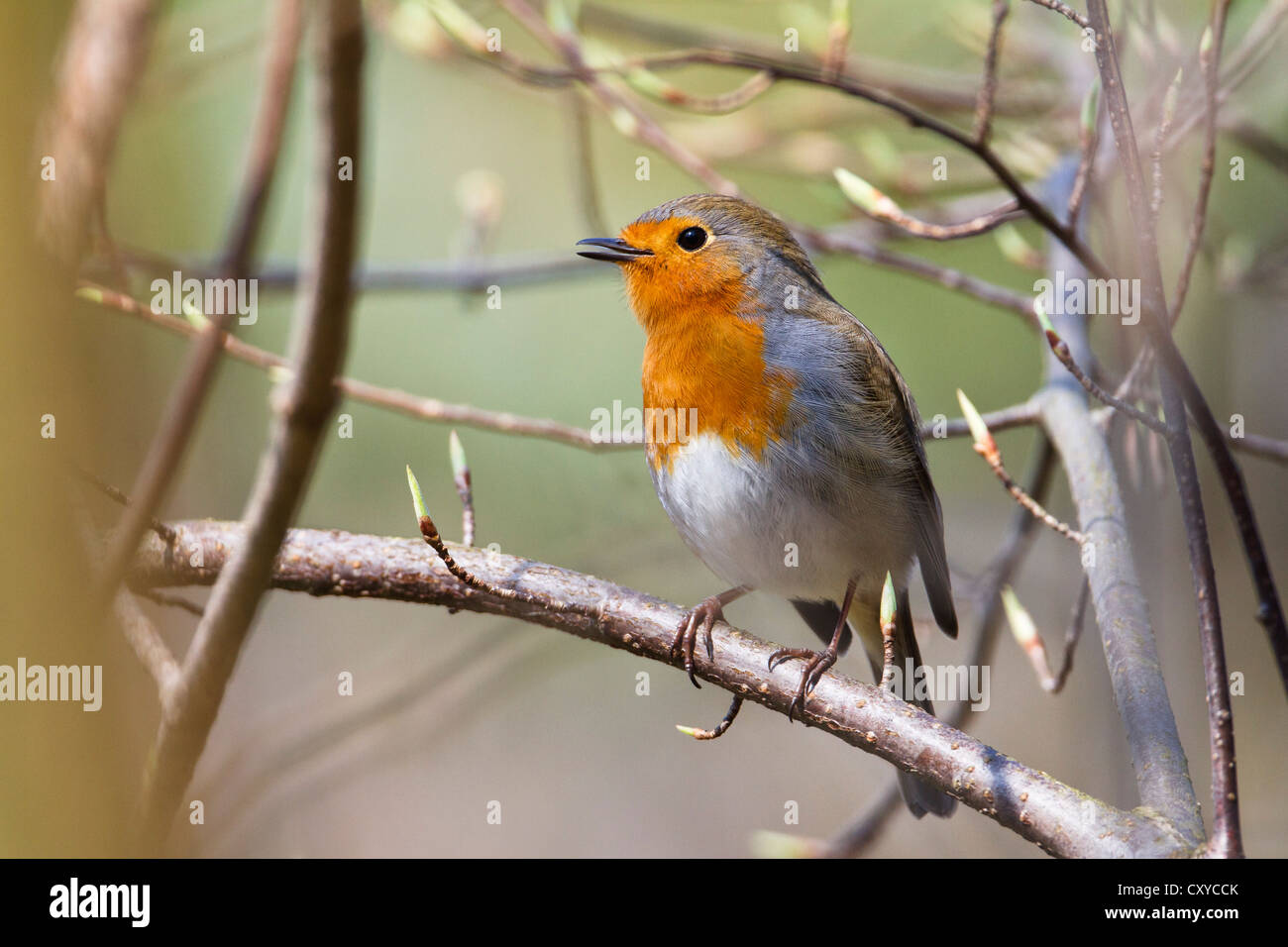 Robin (Erithacus rubecula), singing perched on twig, Bavaria Stock Photo