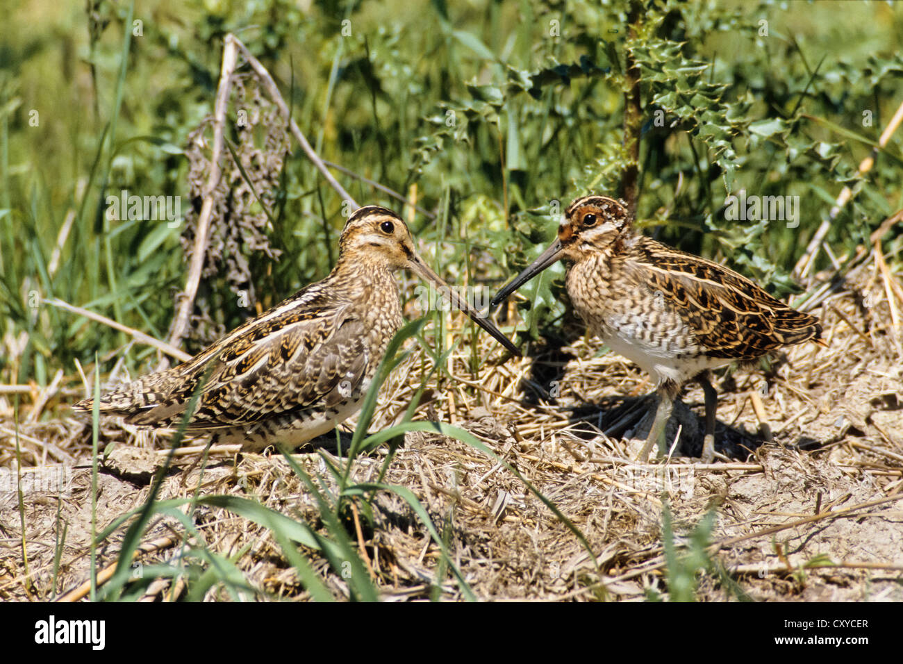 Common Snipe (Gallinago) with young birds, Bird of the Year 2013 - Stock Image