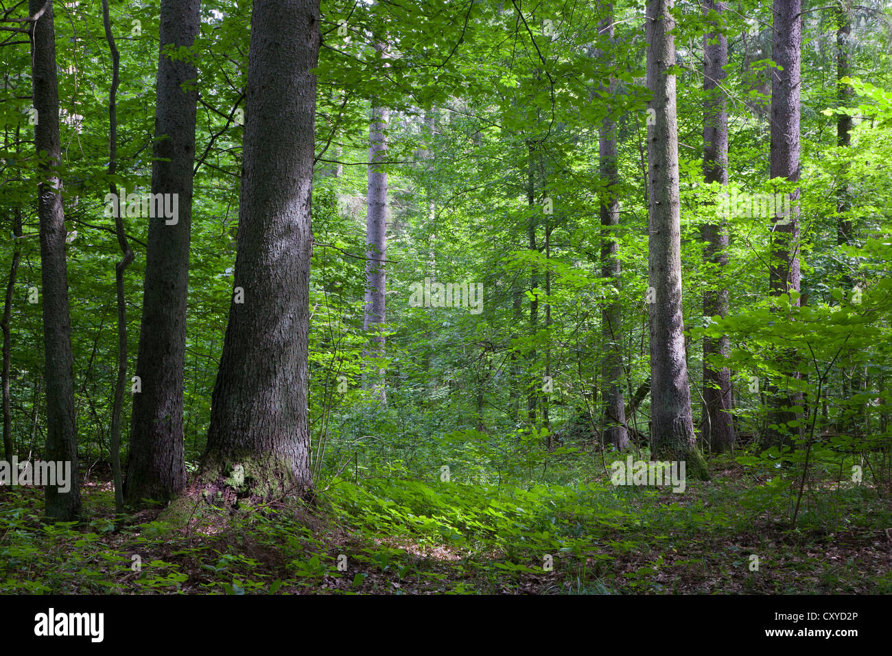 Norwegian Spruce trees in afternoon sunlight against fresh green deciduous stand in summer - Stock Image