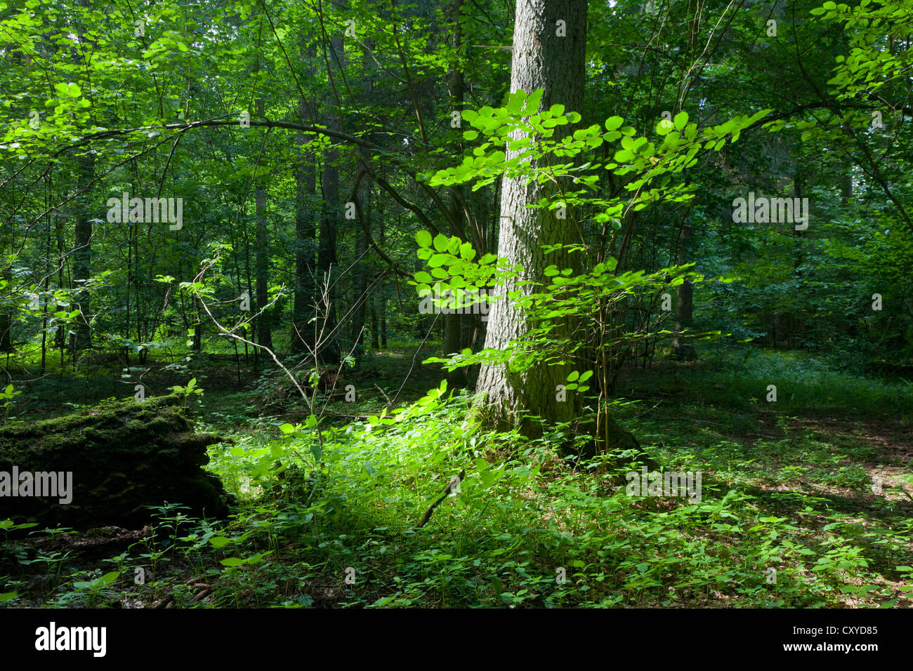 Summertime mixed stand of Bialowieza Forest with single spruce tree in foreground in sun of midday - Stock Image
