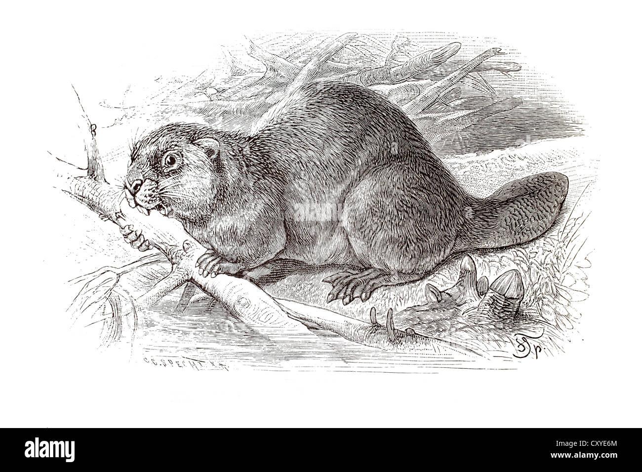 Copper engraving, beaver - Stock Image
