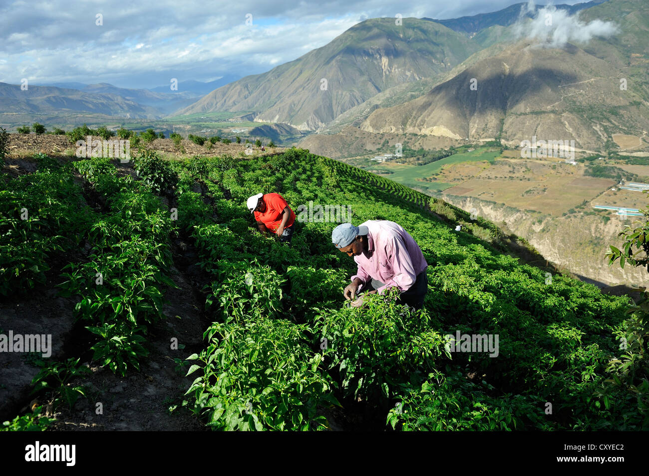 Farmers working on an irrigated field growing peppers (Capsicum annuum) in the Andean highlands, African-Ecuadorian - Stock Image