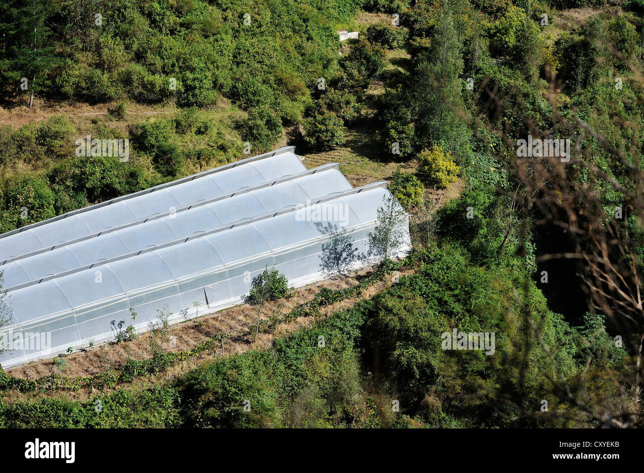 Greenhouses for growing tomatoes (Solanum lycopersicum), community of Mariano Acosta, Canton Pimampiro, Provincia - Stock Image