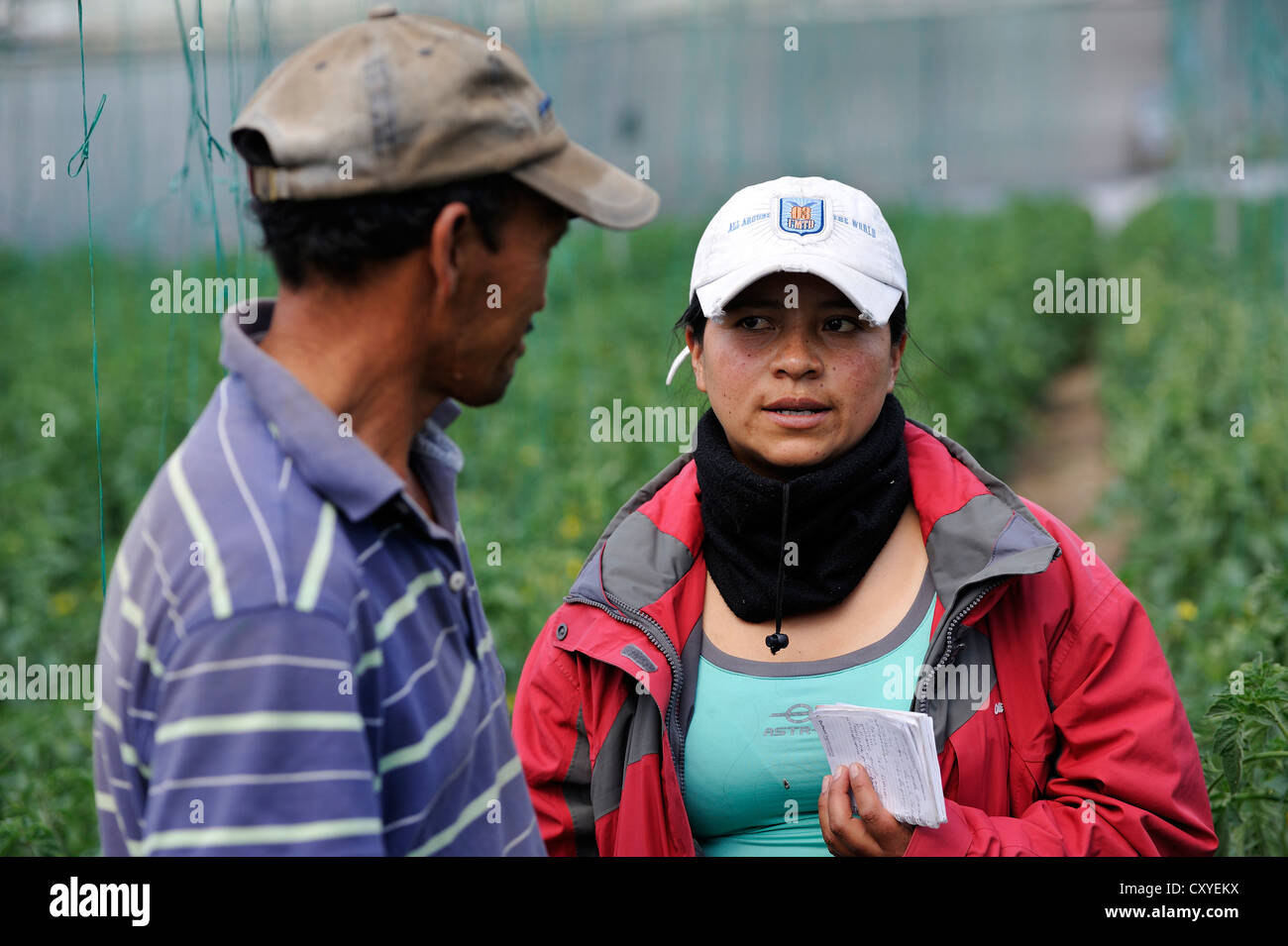 Agricultural engineer, aid worker, advising farmer in a greenhouse with tomato plants (Solanum lycopersicum) Stock Photo