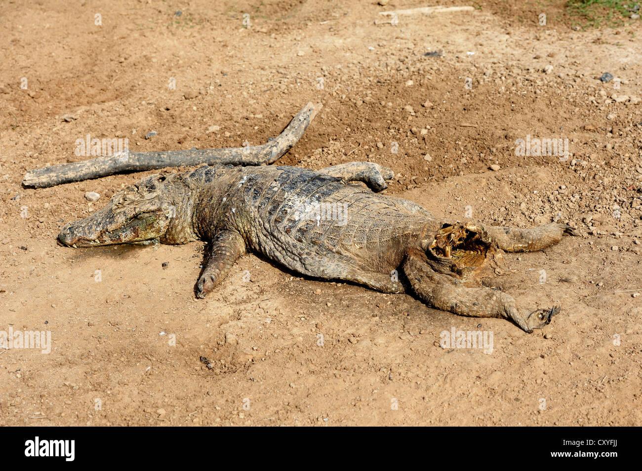 Yacare caiman (Caiman yacare) with a cut off tail, victim of sports hunters, Banado La Estrella, Formosa province, - Stock Image