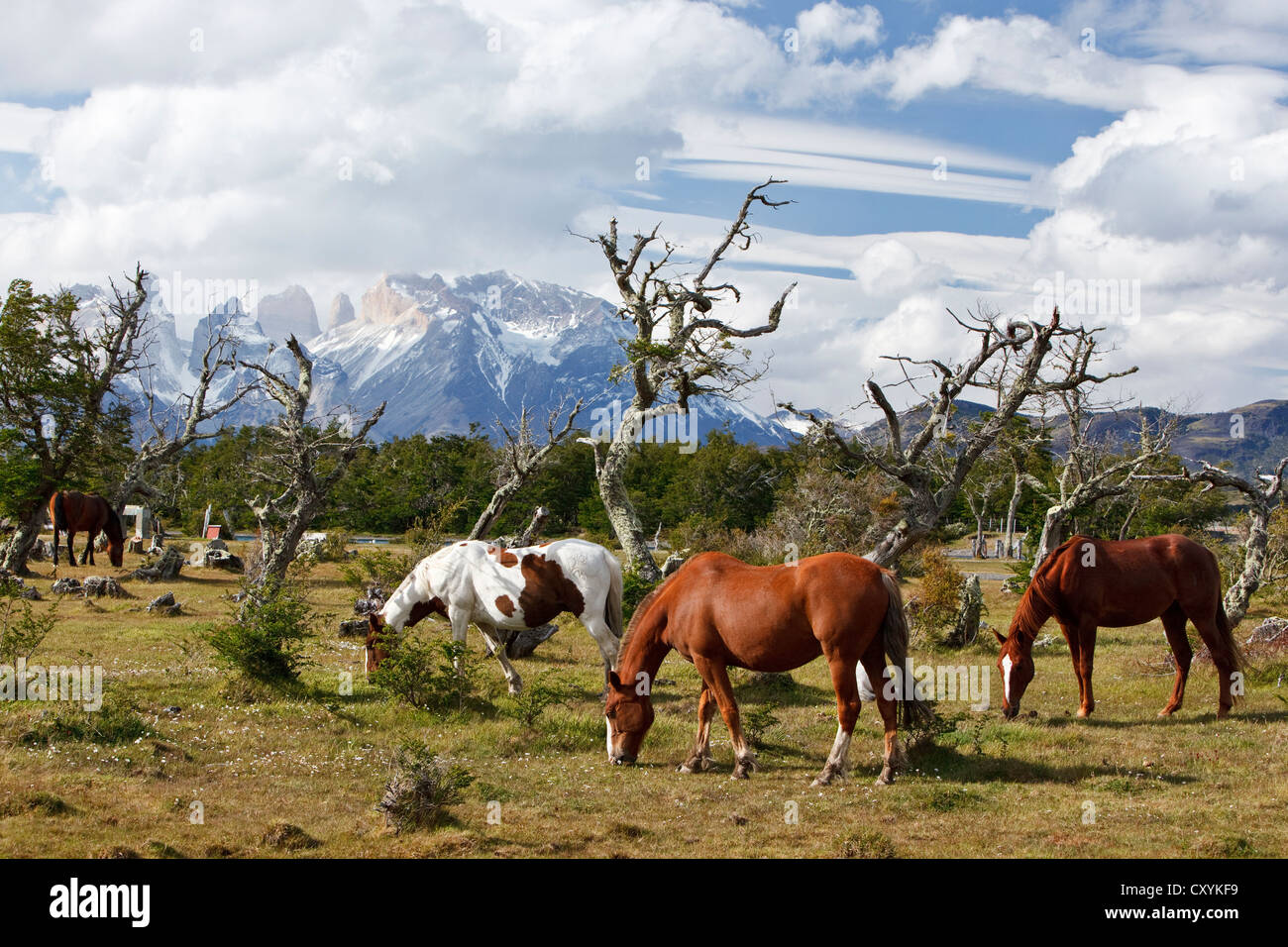 Grazing horses on a green meadow in front of the Cuernos del Paine granite mountains, Torres del Paine National - Stock Image