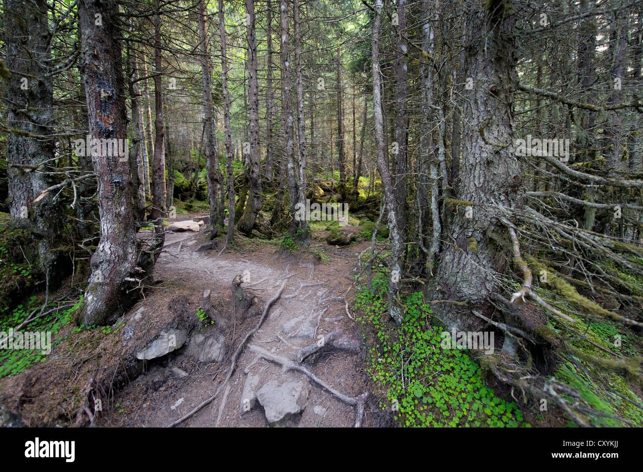 Forest track, Grawa Alm alp, Stubaital valley, Tyrol, Austria, Europe - Stock Image