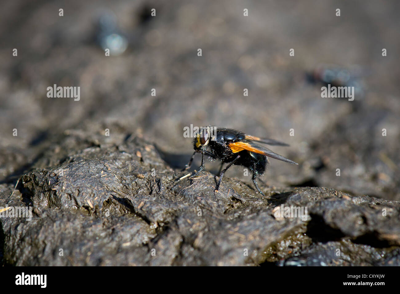 Noon fly (Mesembrina meridiana) perched on cow pat, Grawa Alm alp, Stubaital valley, Tyrol, Austria, Europe - Stock Image