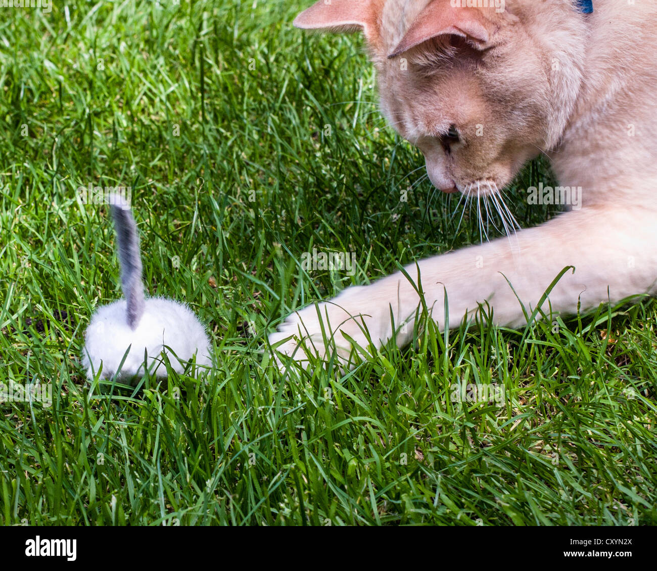 Red Burmese cat playing with a toy mouse on grass Stock Photo