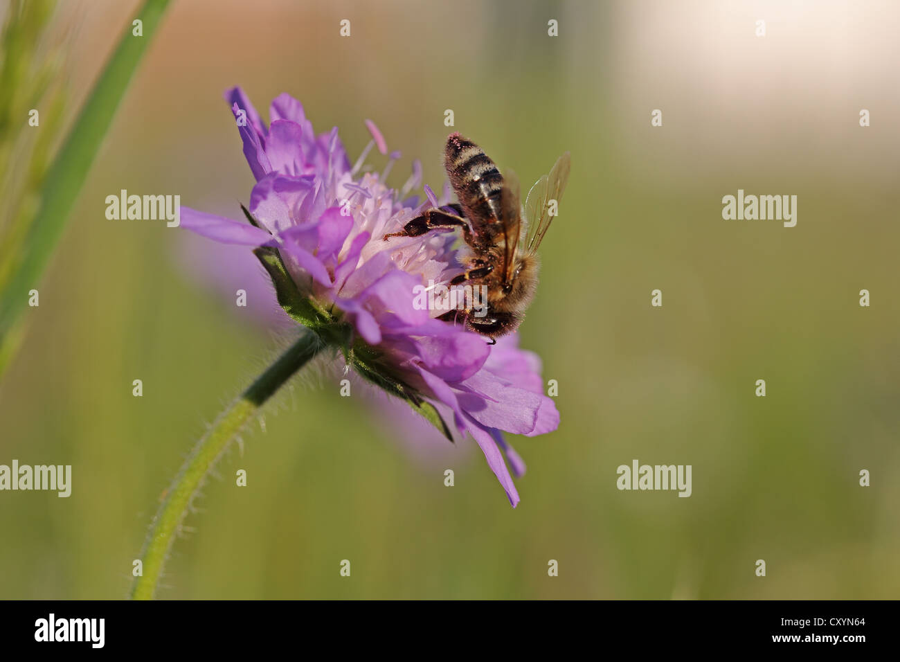 Honey bee (Apis mellifera) on a Scabious flower (Knautia), Baden-Wuerttemberg - Stock Image