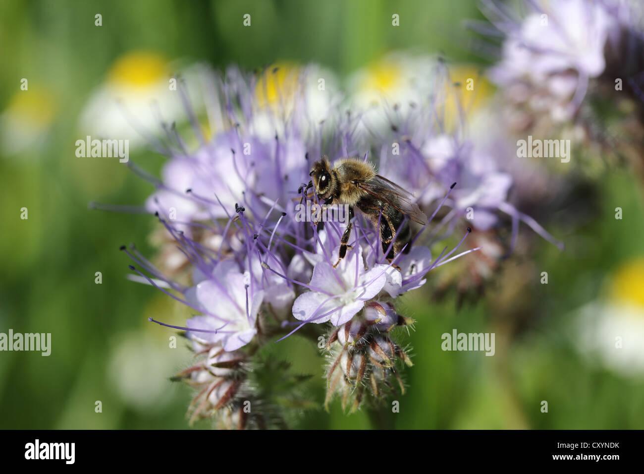 Honey been (Apis sp.) in search of food, purple flower, Phacelia, Scorpionweed or Heliotrope (Phacelia sp.) - Stock Image
