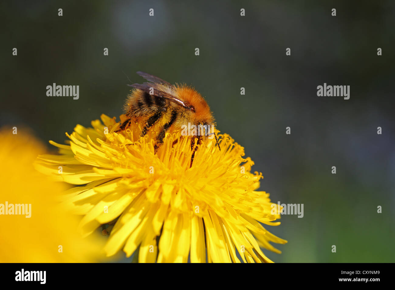 Bumblebee (Bombus sp.), feeding on a Dandelion flower (Taraxacum sp.), detail view - Stock Image