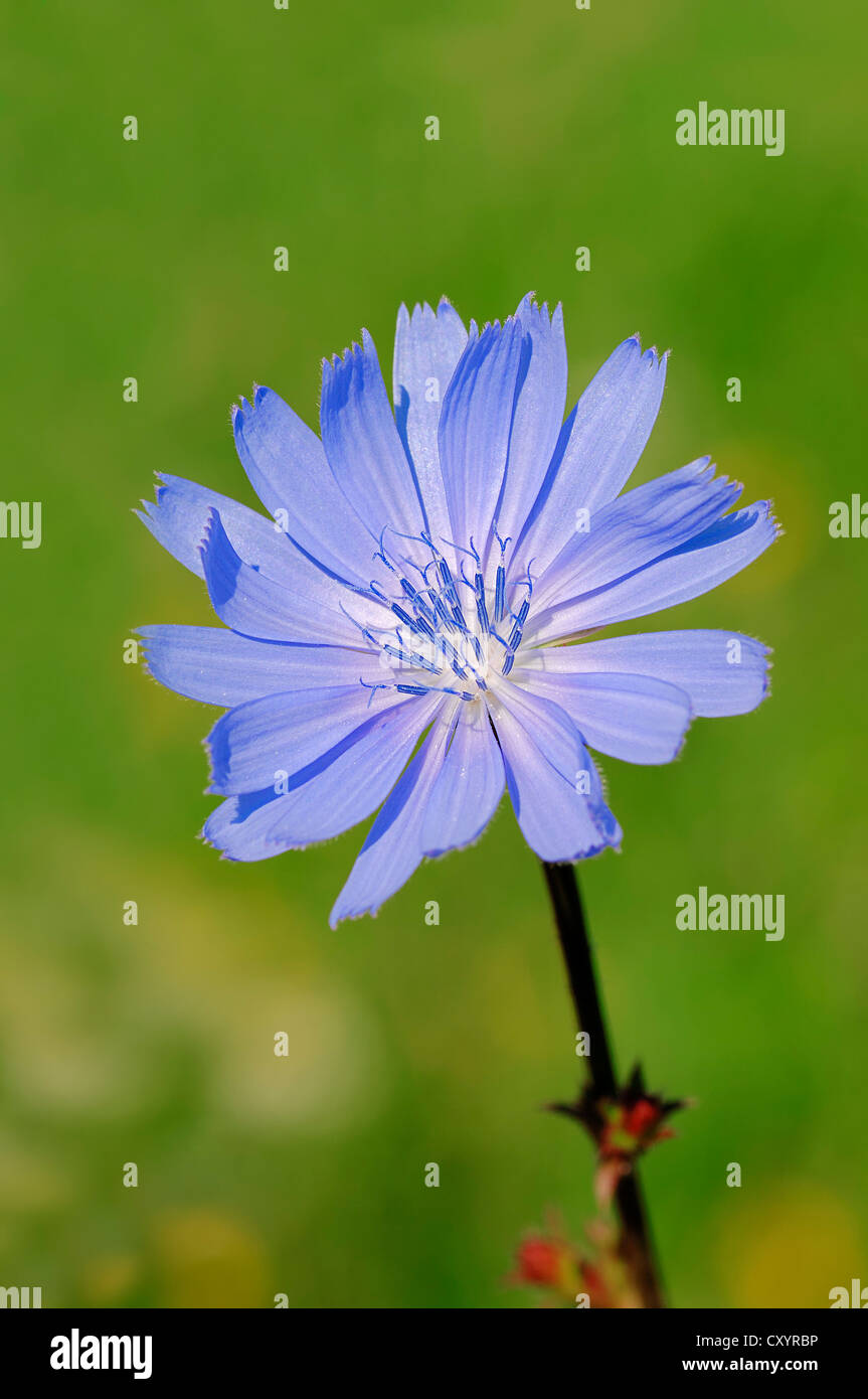 Common Chicory, Blue Sailors, Coffeeweed (Cichorium intybus), flower, North Rhine-Westphalia Stock Photo