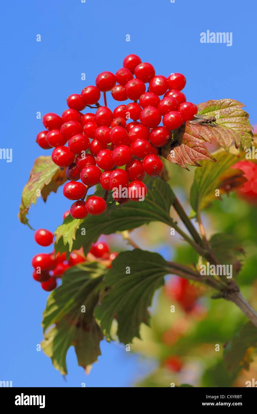 Guelder Rose, Water Elder, European Cranberrybush, Cramp Bark, Snowball Tree berries (Viburnum opulus), berries - Stock Image