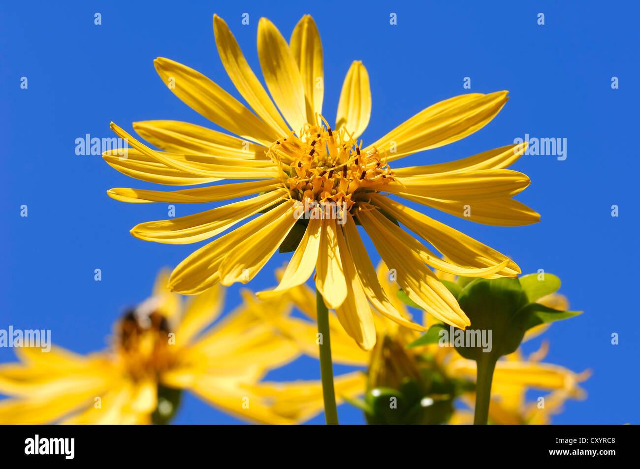 Jerusalem Artichoke, sunroot, sunchoke, earth apple or topinambour (Helianthus tuberosus), flower, occurrence in - Stock Image