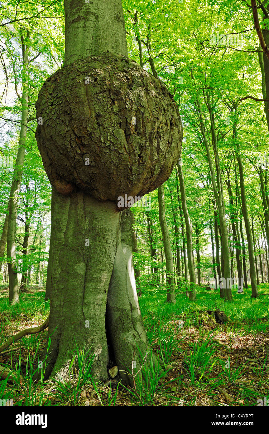 Tree cancer, fungal disease, European Beech (Fagus sylvatica), Lauenburg Lakes Nature Park, Schleswig-Holstein - Stock Image