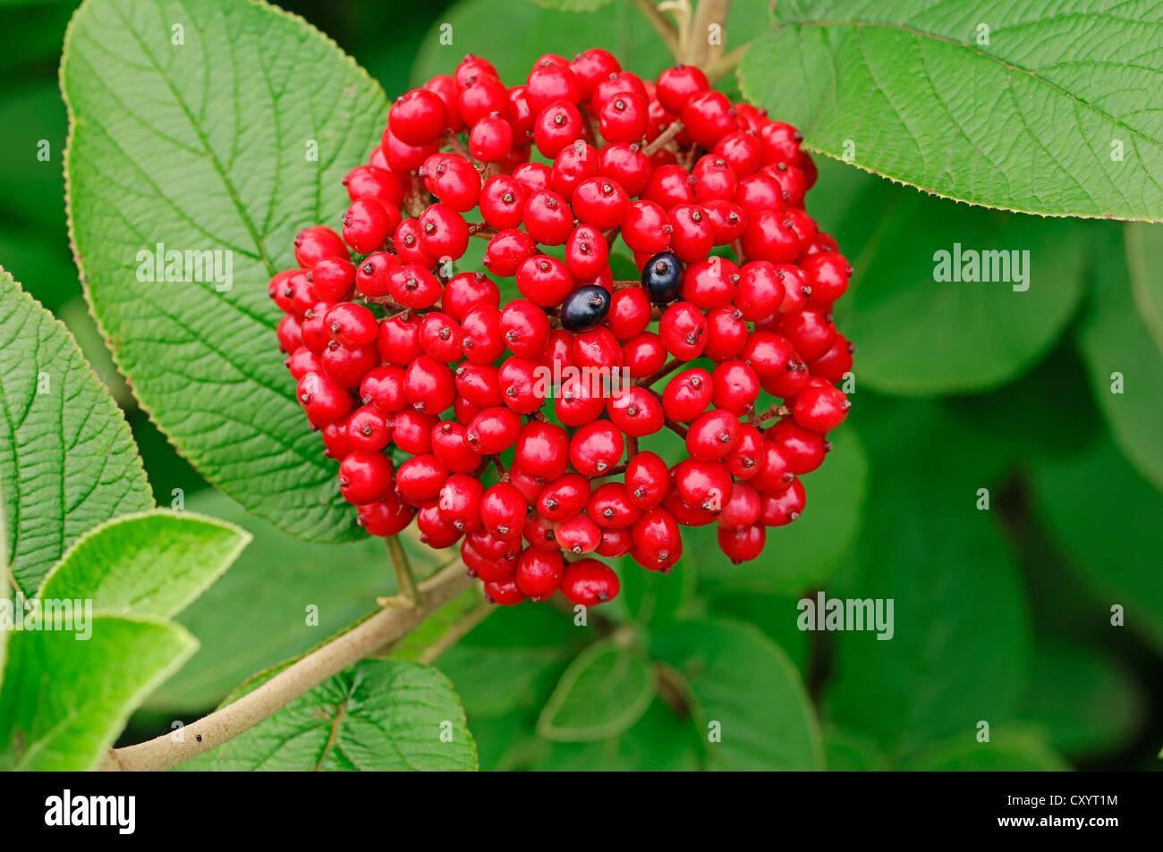 Wayfaring tree (Viburnum lantana), berries, North Rhine-Westphalia - Stock Image