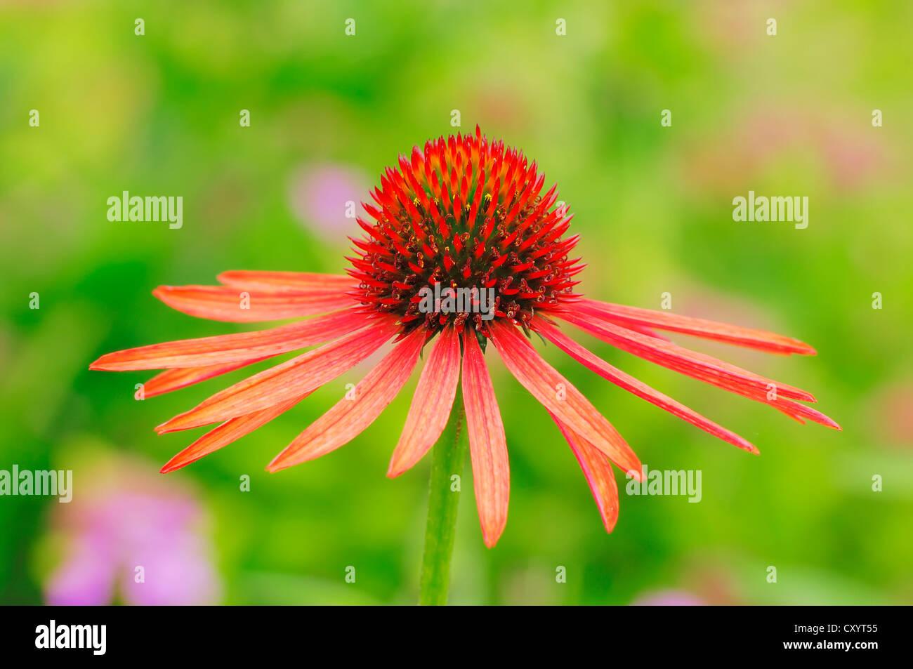 Eastern purple coneflower, purple coneflower (Echinacea purpurea, Rudbeckia purpurea), blossom, garden plant - Stock Image