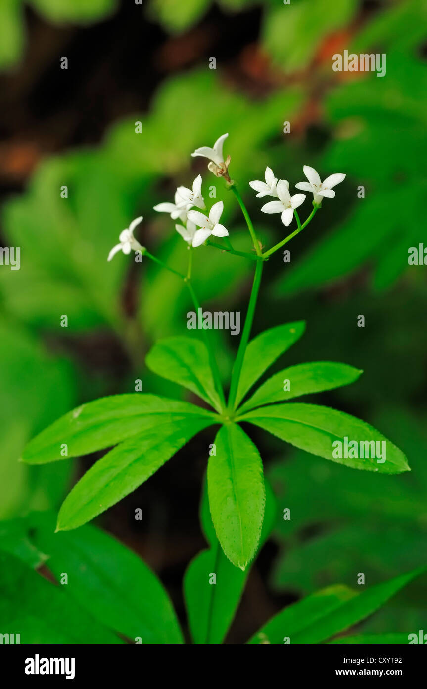 Perennial plant (Galium odoratum, Asperula odorata), blossoms, North Rhine-Westphalia - Stock Image