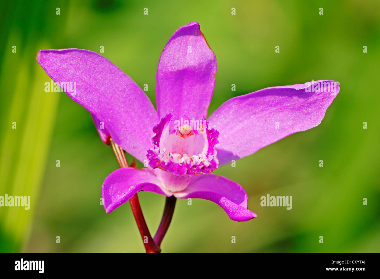 Chinese Orchid Bloom Stock Photos & Chinese Orchid Bloom ...