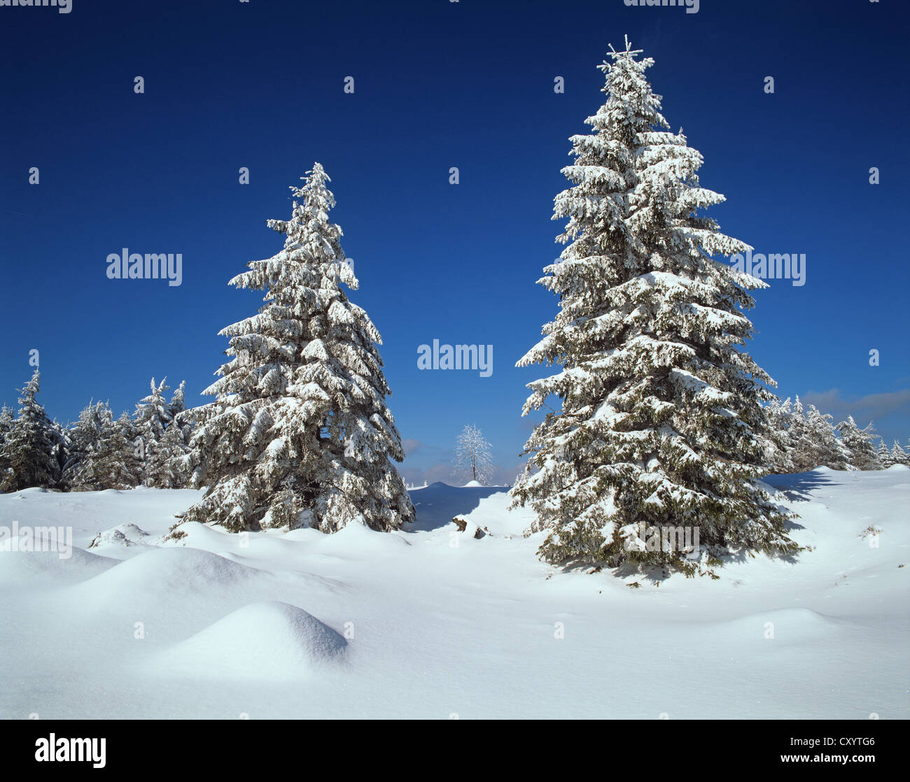 Snow-covered Spruce trees (Picea abies) at the edge of the Beerbergmoor Nature Reserve, a montane raised bog, near - Stock Image