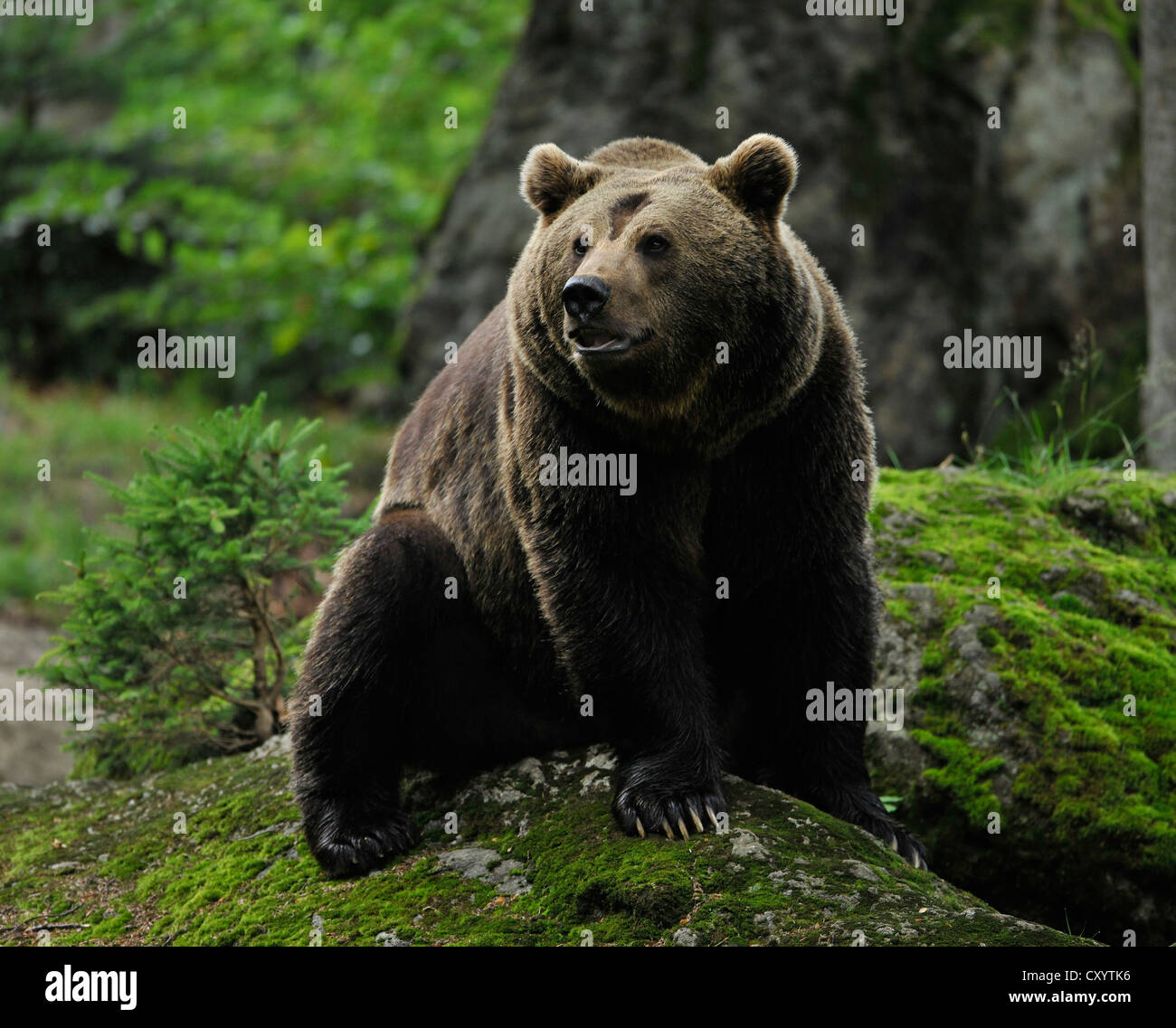 European Brown Bear (Ursus arctos), in an enclosed zone of the Bavarian Forest National Park, Bavaria - Stock Image