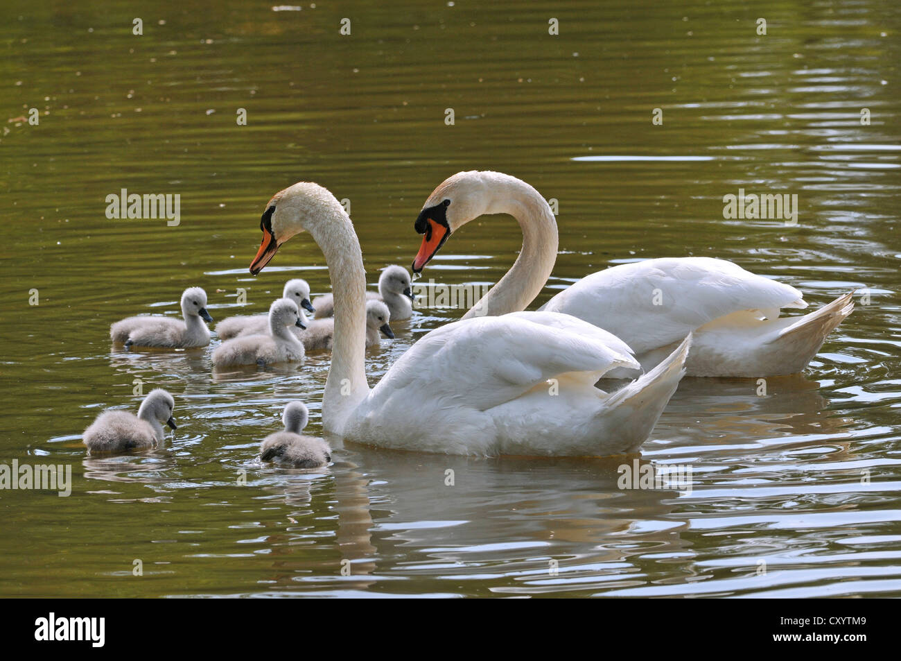 Mute Swans (Cygnus olor), two adult birds with chicks, Plothener Ponds, Thuringia - Stock Image