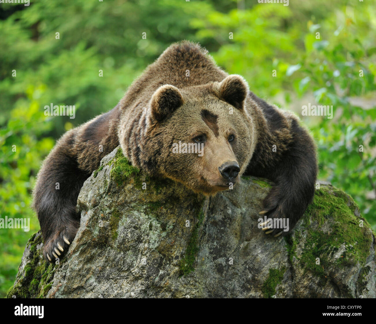 European Brown Bear (Ursus arctos) in an enclosed zone of the Bavarian Forest National Park, Bavaria - Stock Image