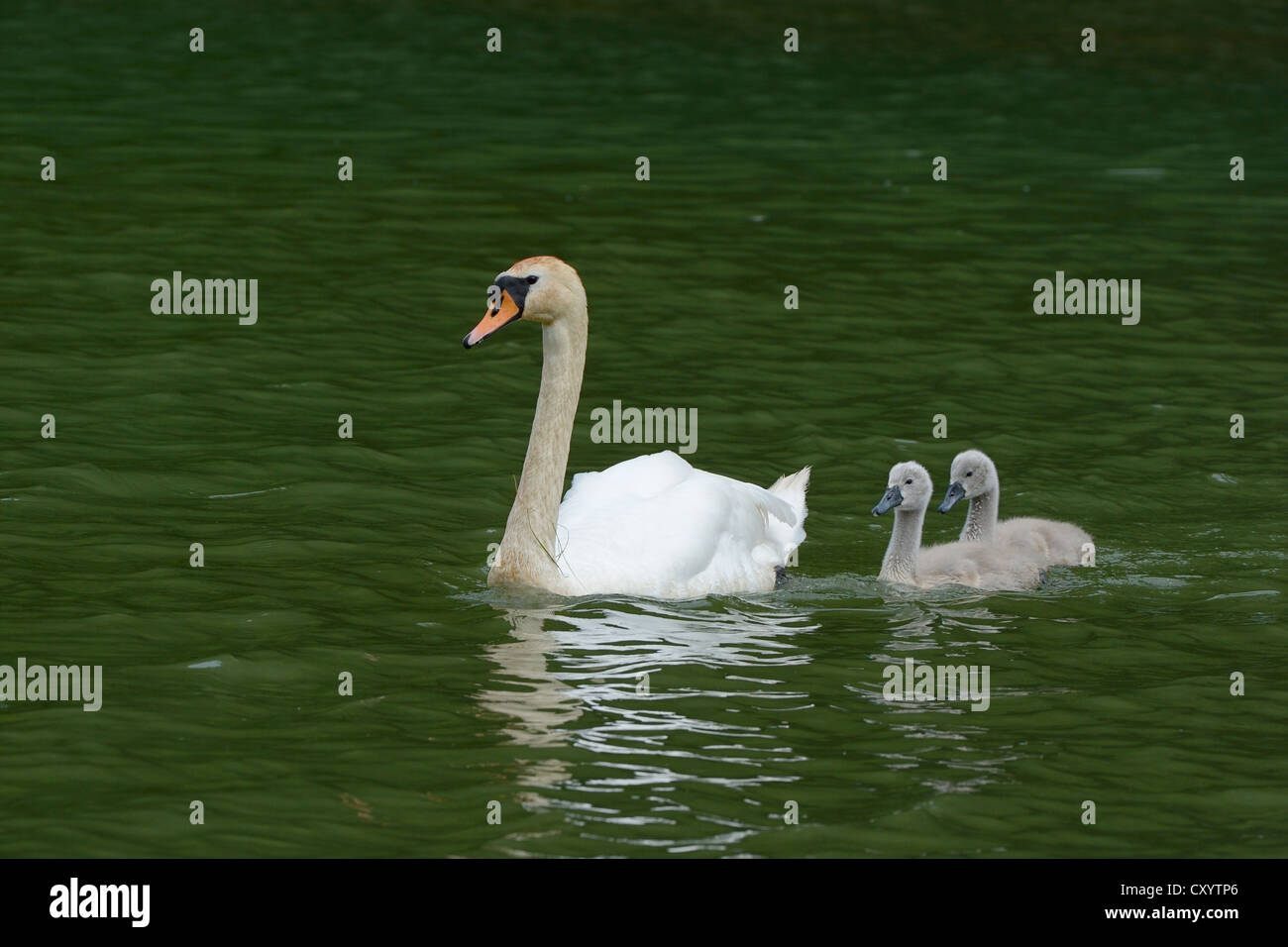 Mute Swan (Cygnus olor) swimming with two cygnets on Wichelsee lake, Sarnen, Switzerland, Europe Stock Photo