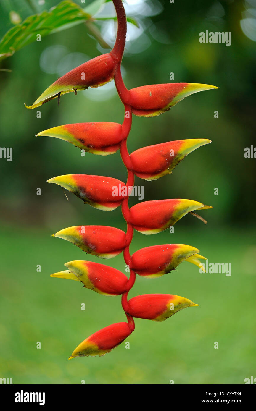 Lobster claw, False-bird-of-paradise (Heliconia rostrata), Manuel Antonio National Park, Costa Rica, Central America - Stock Image