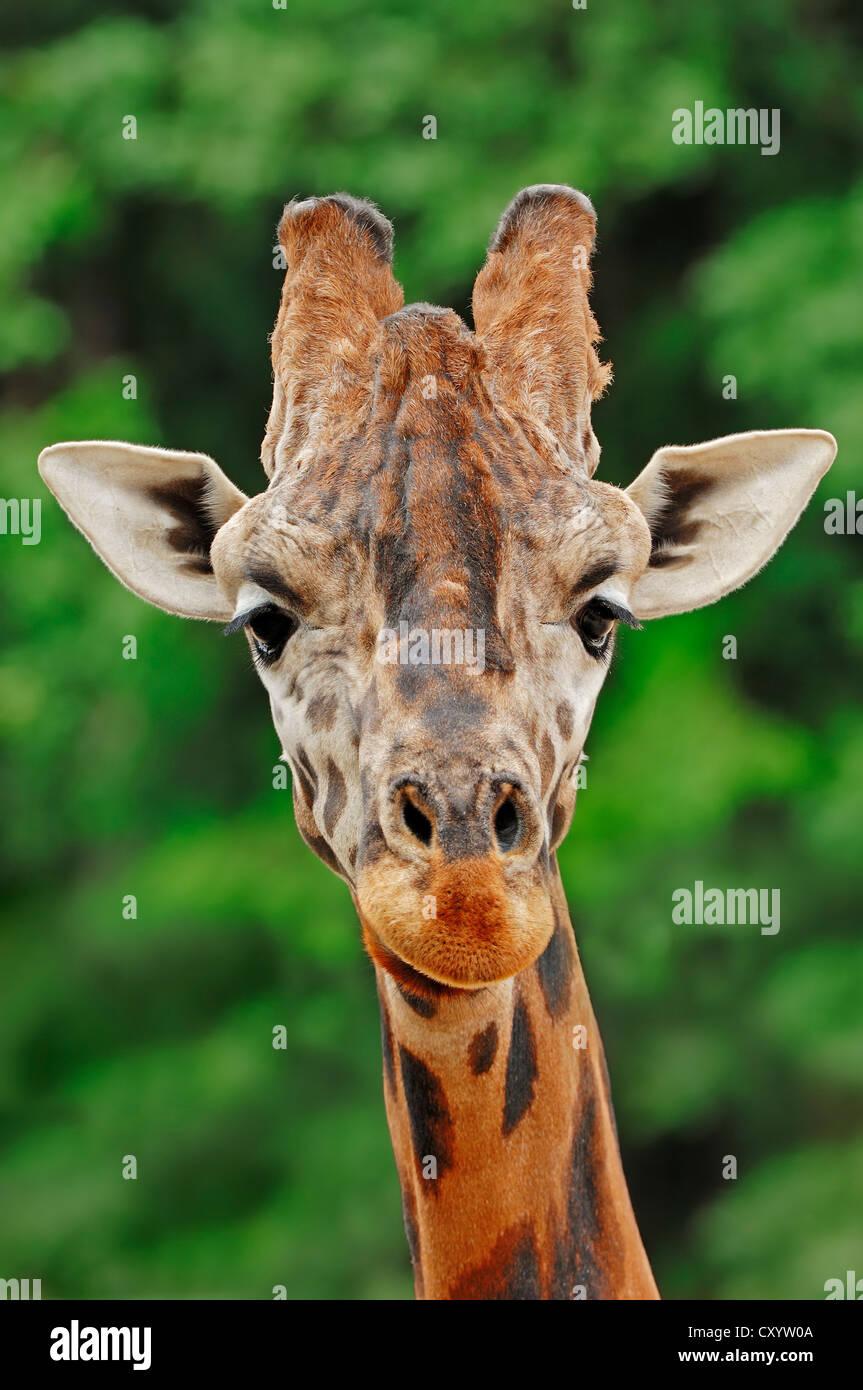Rothschild giraffe (Giraffa camelopardalis rothschildi), portrait, found in Africa, captive, France, Europe - Stock Image