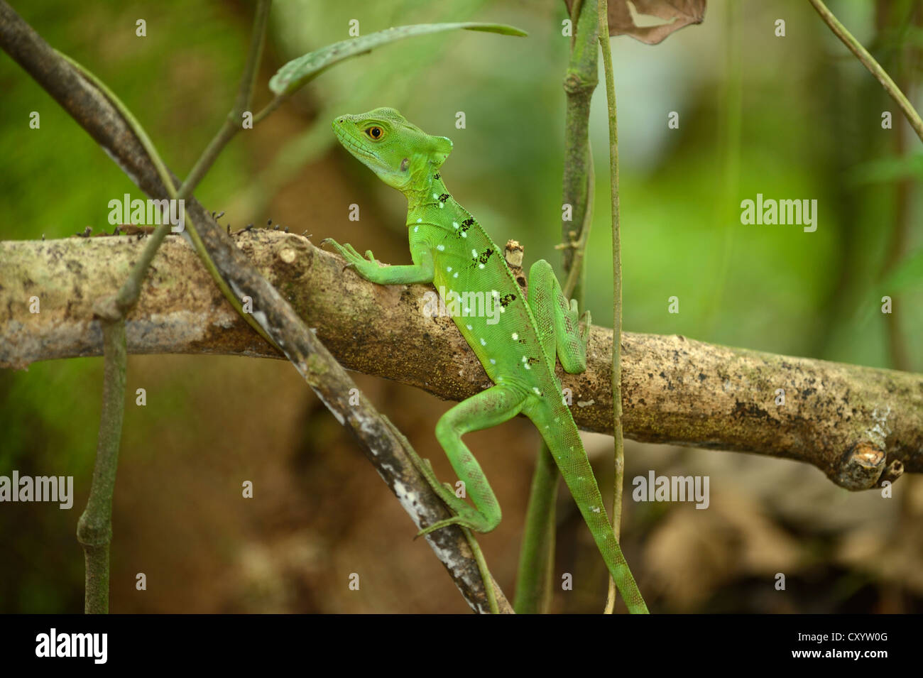 Plumed basilisk, Green basilisk, Double crested basilisk or Jesus Christ lizard (Basiliscus plumifrons), female Stock Photo