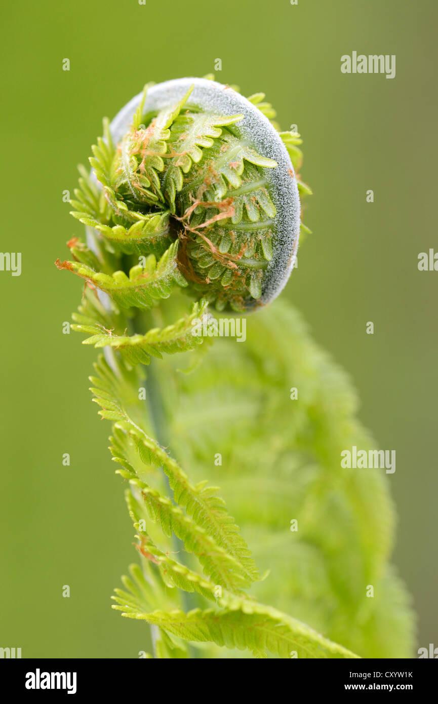 Sprout, fern (Monilophyta), Seleger Moor marshland, Rifferswil, Switzerland, Europe - Stock Image