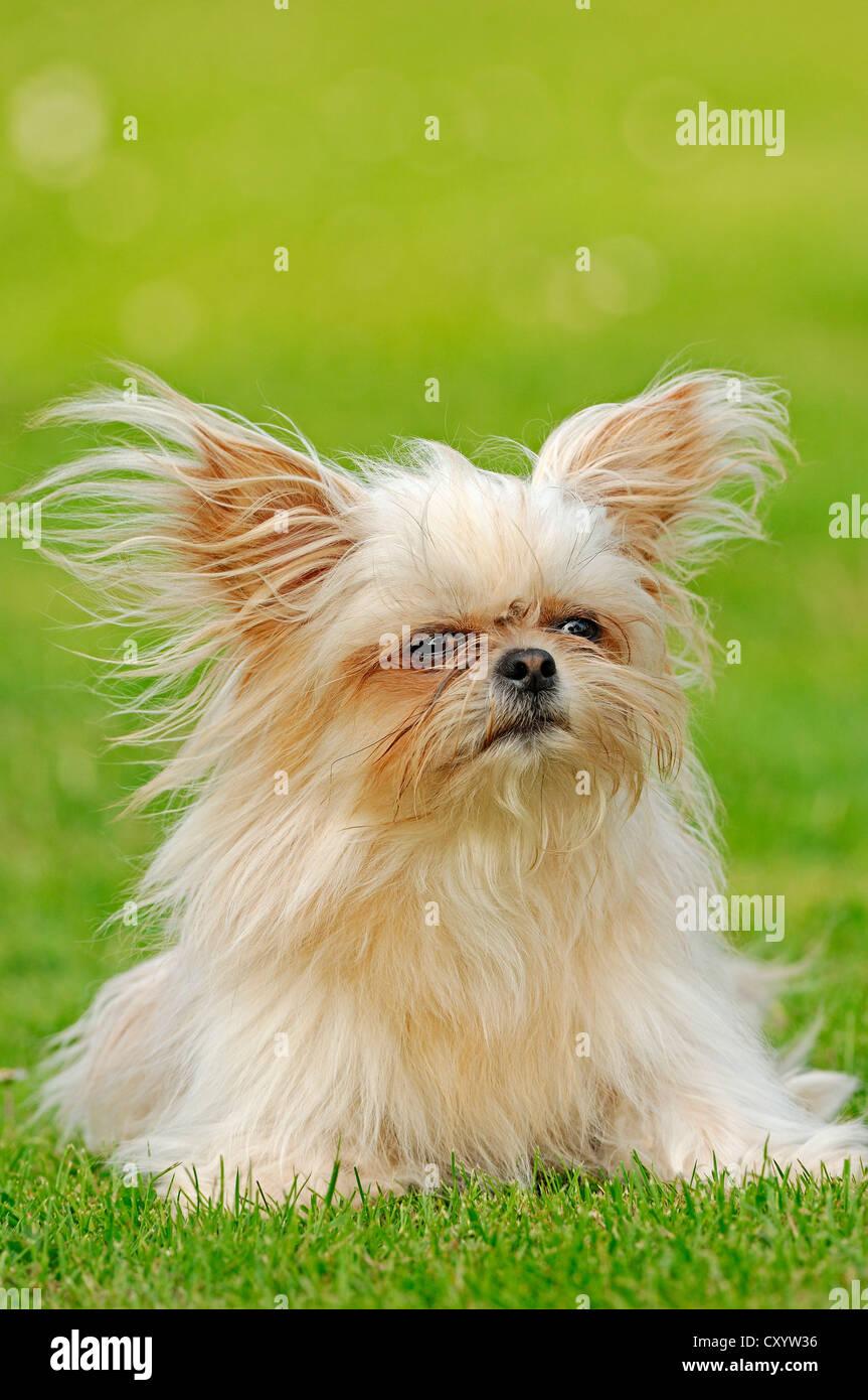 Toy Mi-Ki, a rare breed of dog (Canis lupus familiaris) Stock Photo