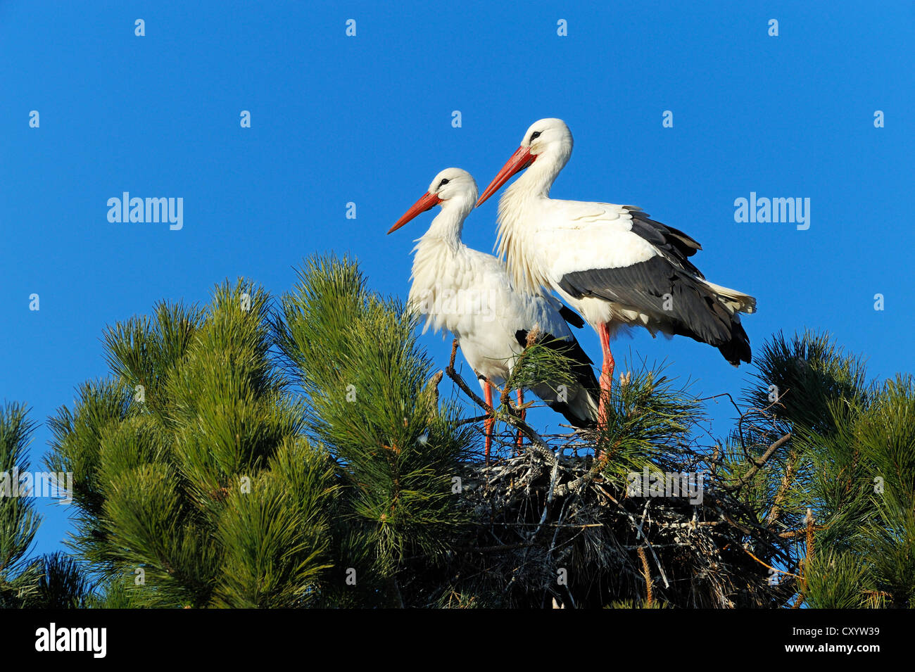 White Storks (Ciconia ciconia) sitting on a nest, Muri, Switzerland, Europe - Stock Image
