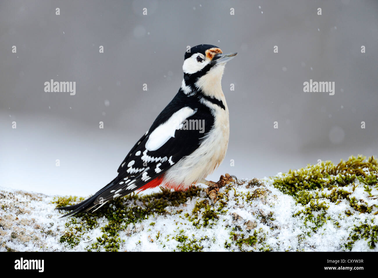 Great Spotted Woodpecker (Dendrocopos major) during snowfall, Bulgaria, Europe - Stock Image