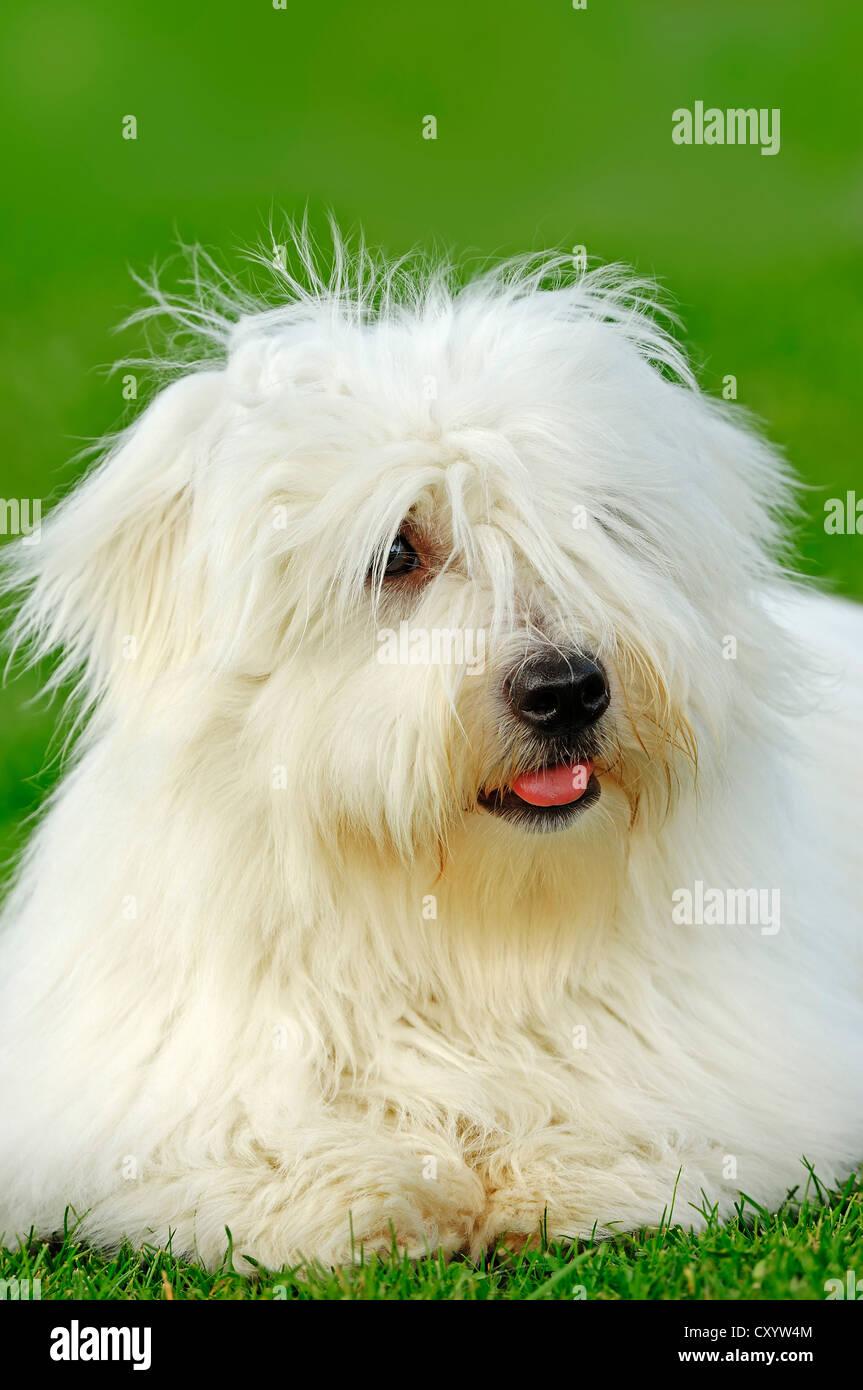 Coton de Tulear, dog (Canis lupus familiaris) - Stock Image