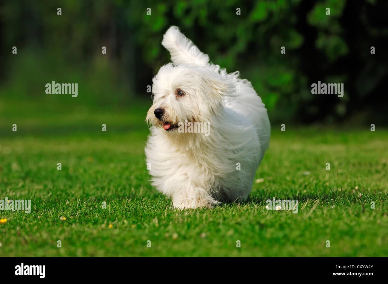 Coton de Tulear, dog (Canis lupus familiaris) Stock Photo