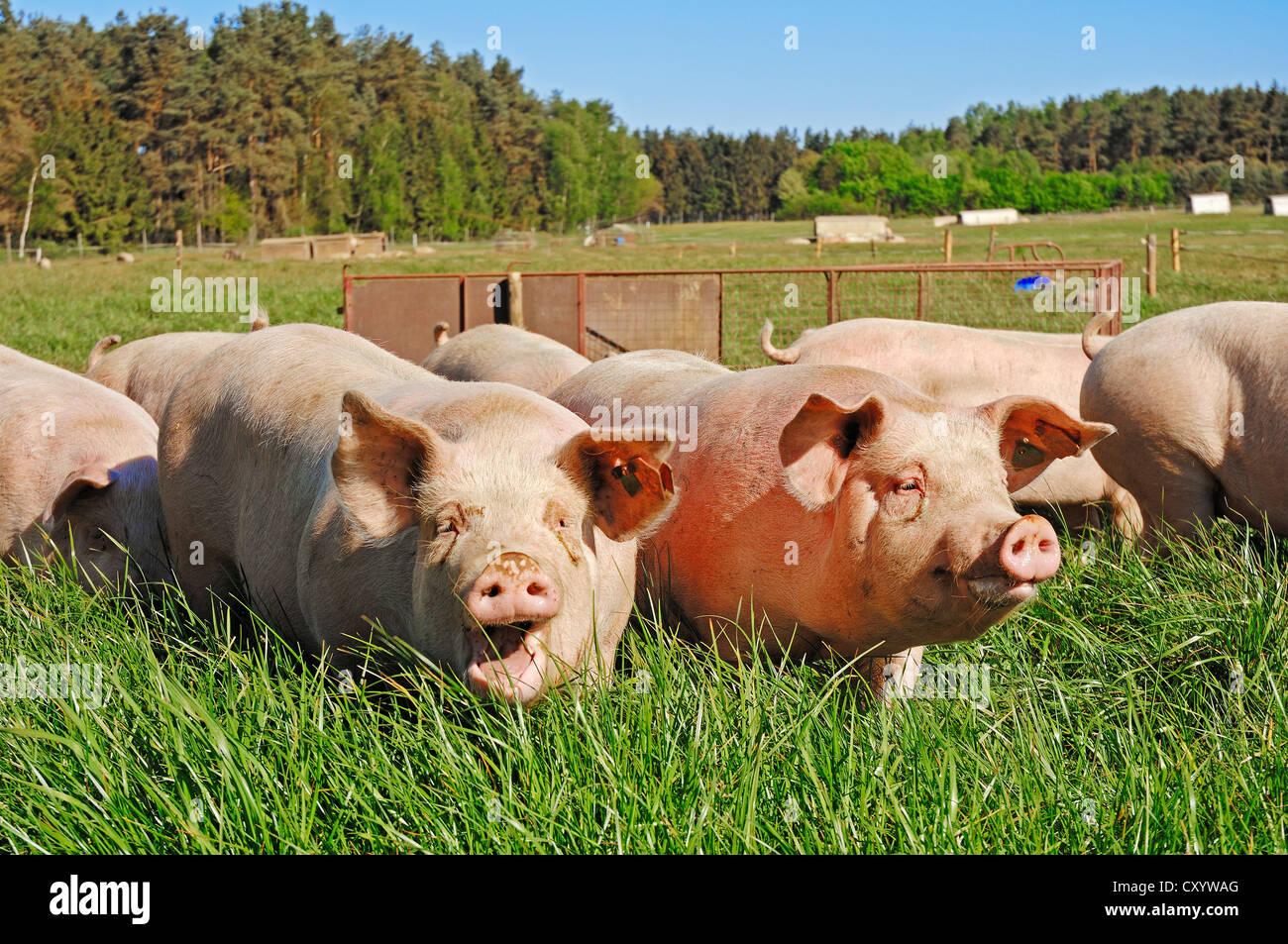 Domestic pigs (Sus scrofa domestica), free-range, Schleswig-Holstein - Stock Image