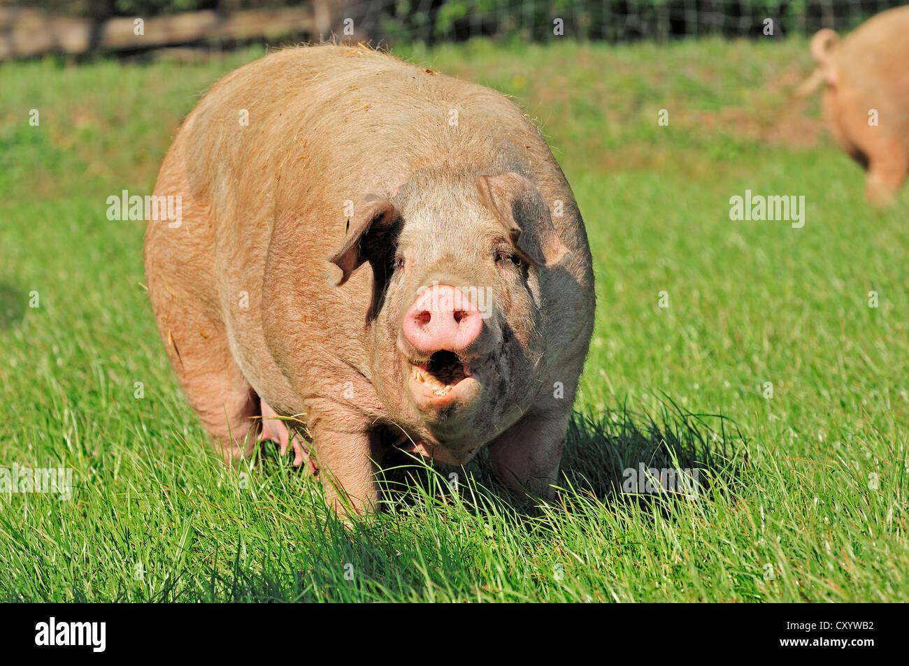 Domestic pig (Sus scrofa domestica), free-range, Schleswig-Holstein - Stock Image
