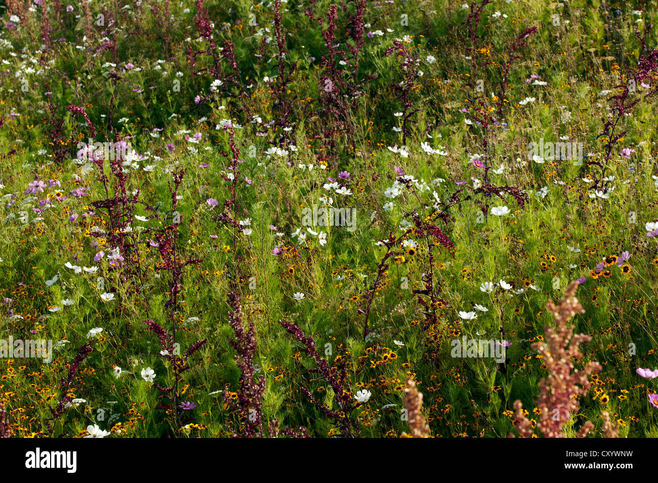 Close-up view of meadow flowers growing in the Great British Garden, at the Olympic Park, Stratford. - Stock Image