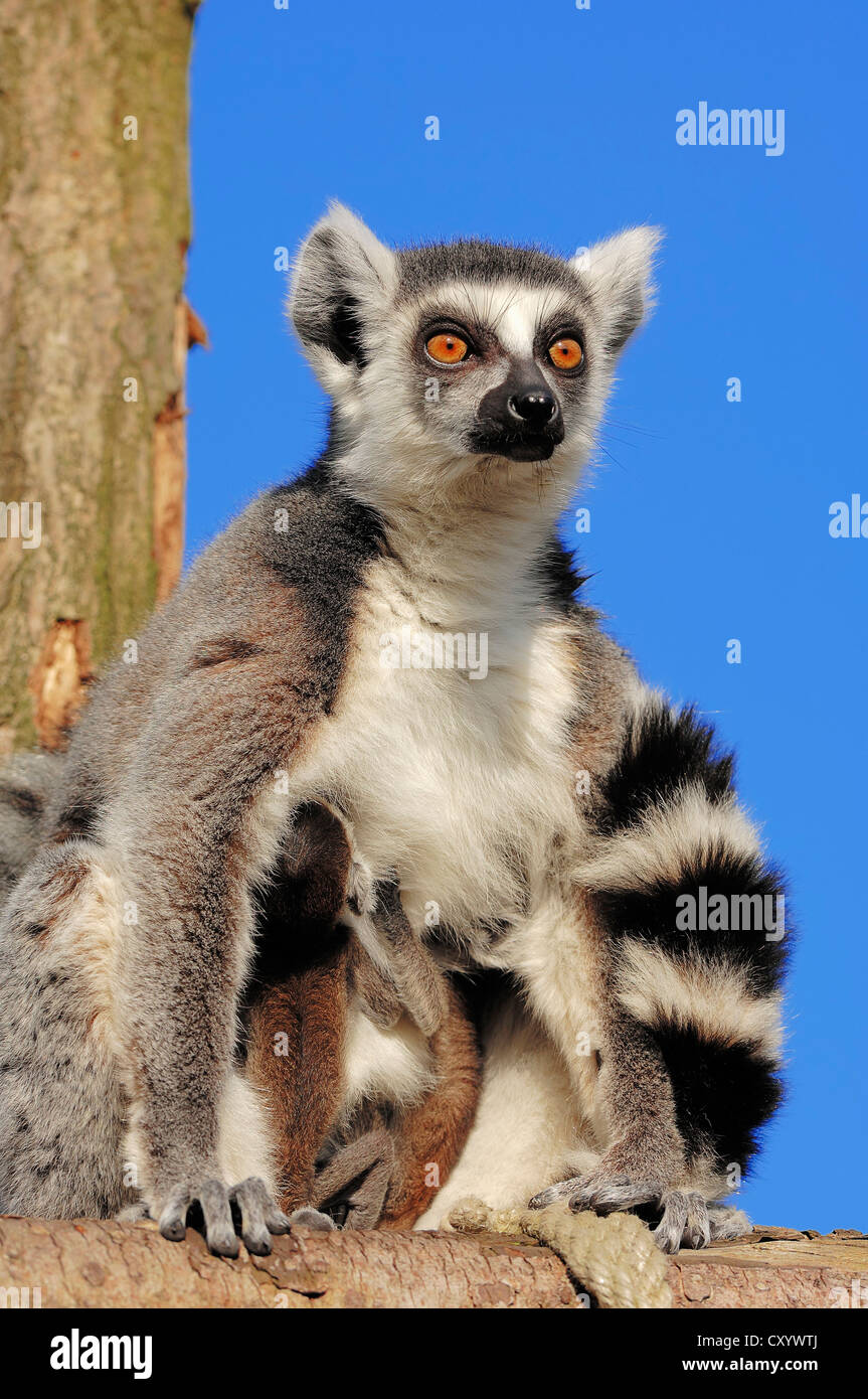 Ring-tailed lemurs (Lemur catta), female with four-day-old infants, found in Madagascar, captive, Netherlands, Europe - Stock Image