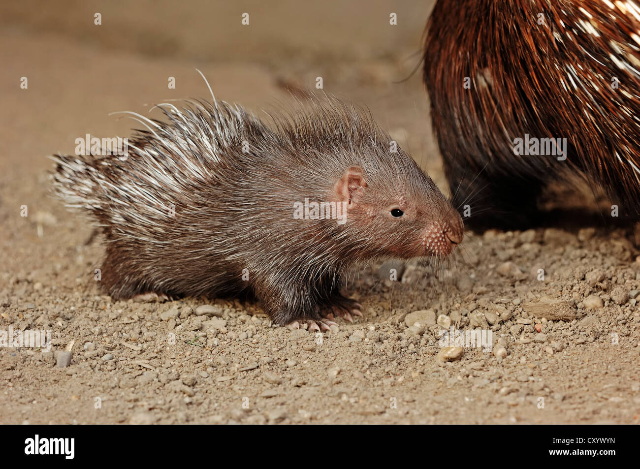 Indian crested porcupine (Hystrix indica, Hystrix leucura), young animal, native to the Middle East and India, captive - Stock Image