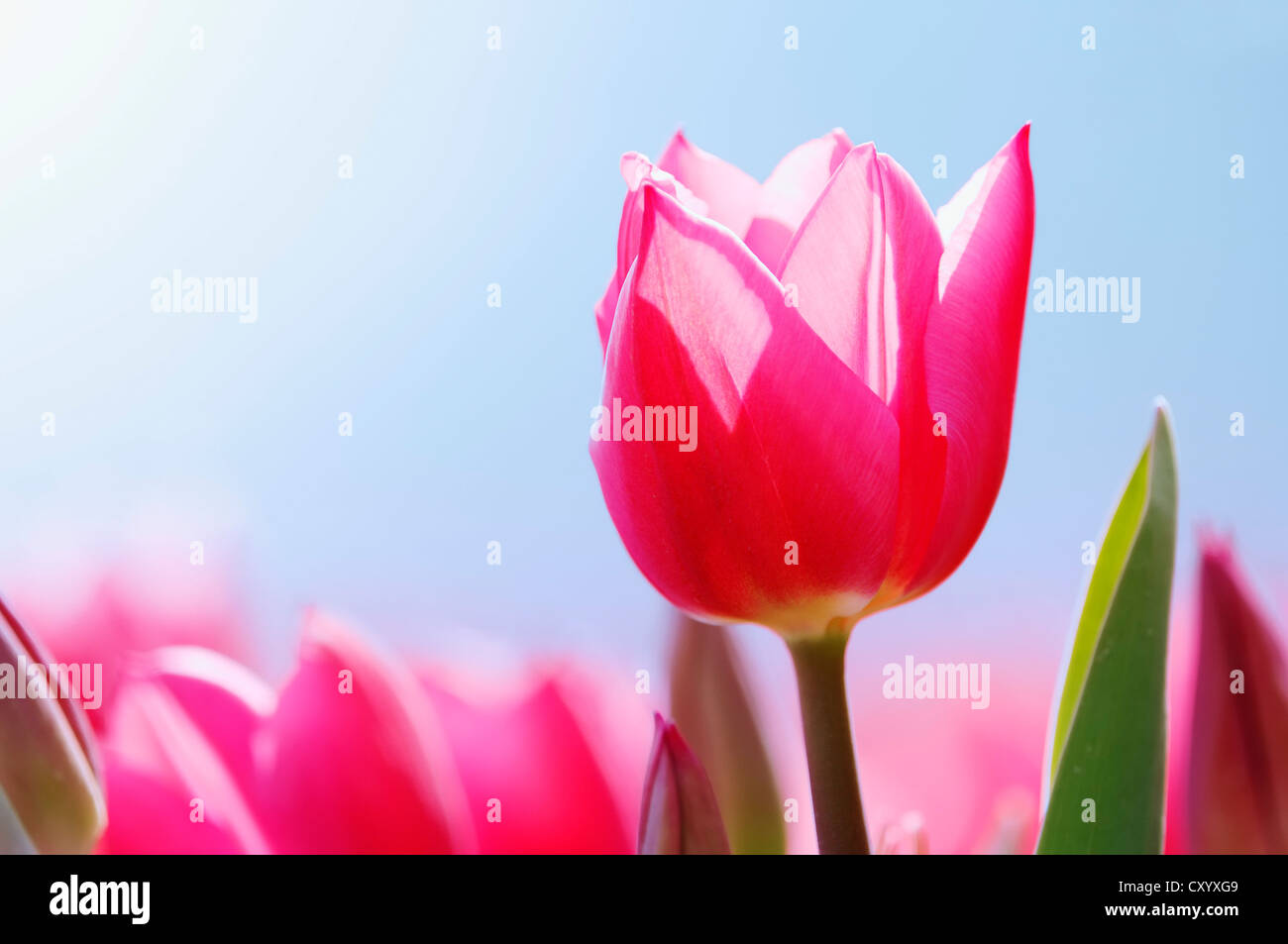 Tulip (Tulipa sp.), Netherlands, Europe - Stock Image