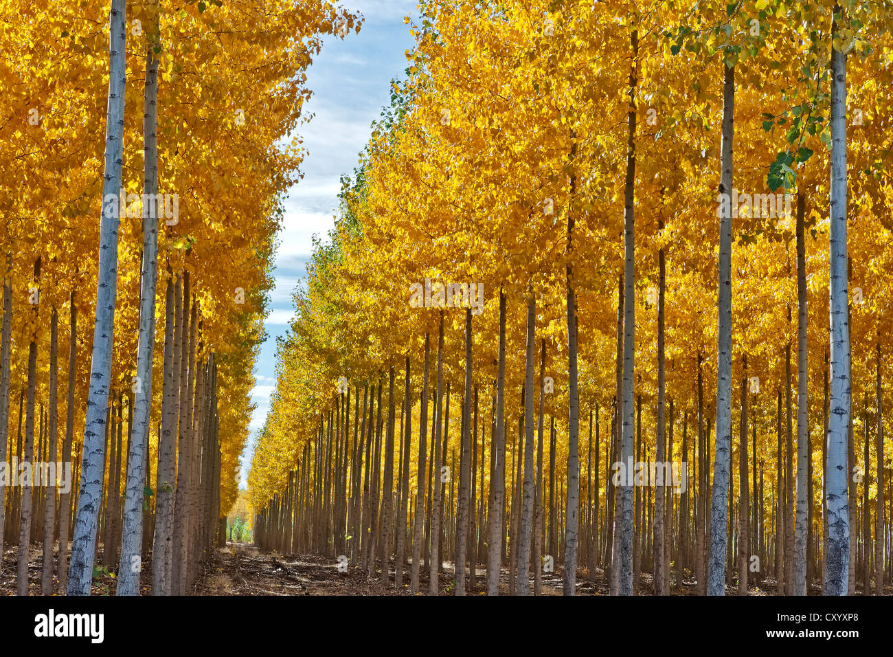 Hybrid Poplar plantation, fall foliage. - Stock Image