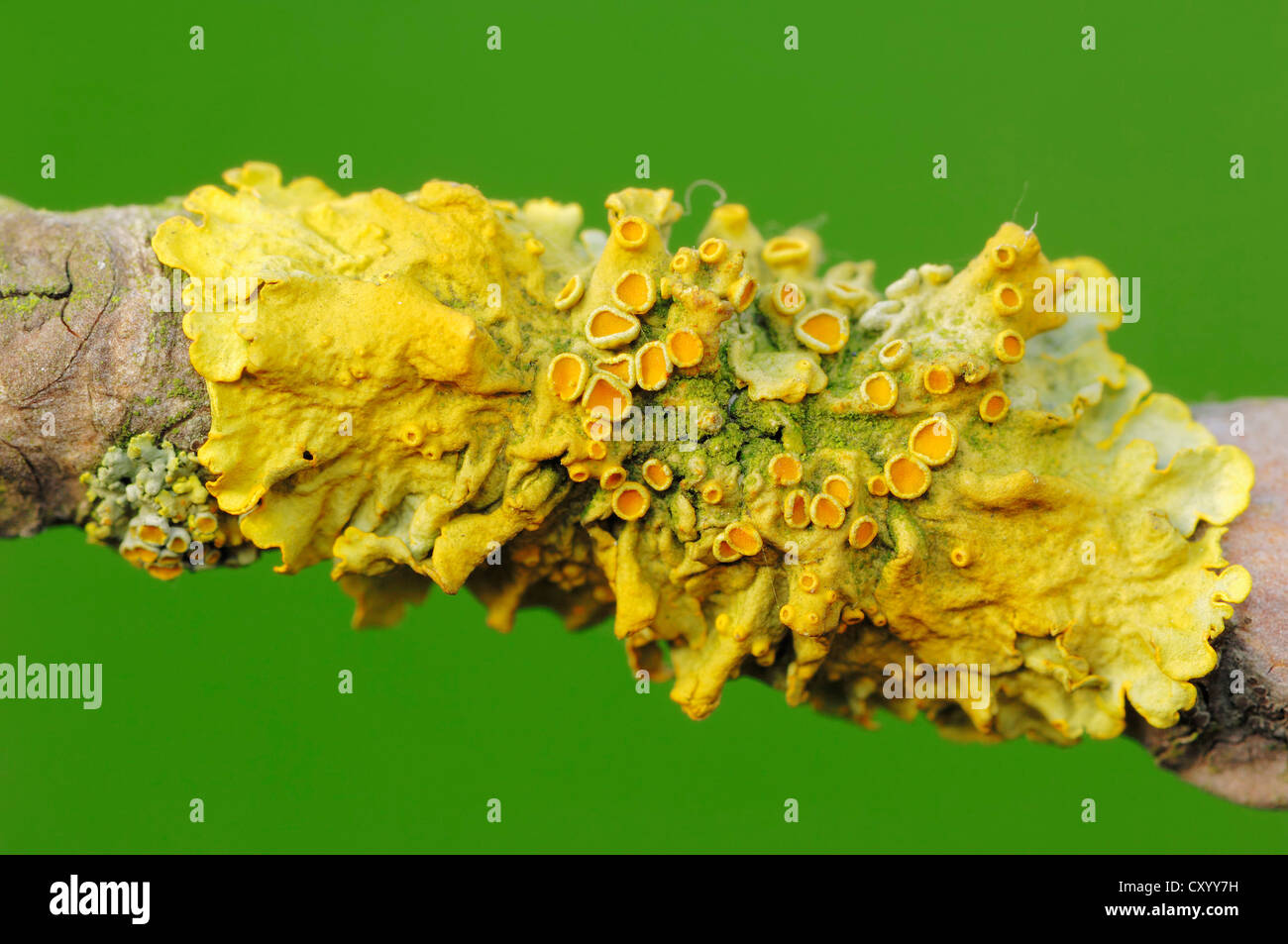 Common orange lichen, yellow scale (Xanthoria parietina) on a branch, North Rhine-Westphalia - Stock Image