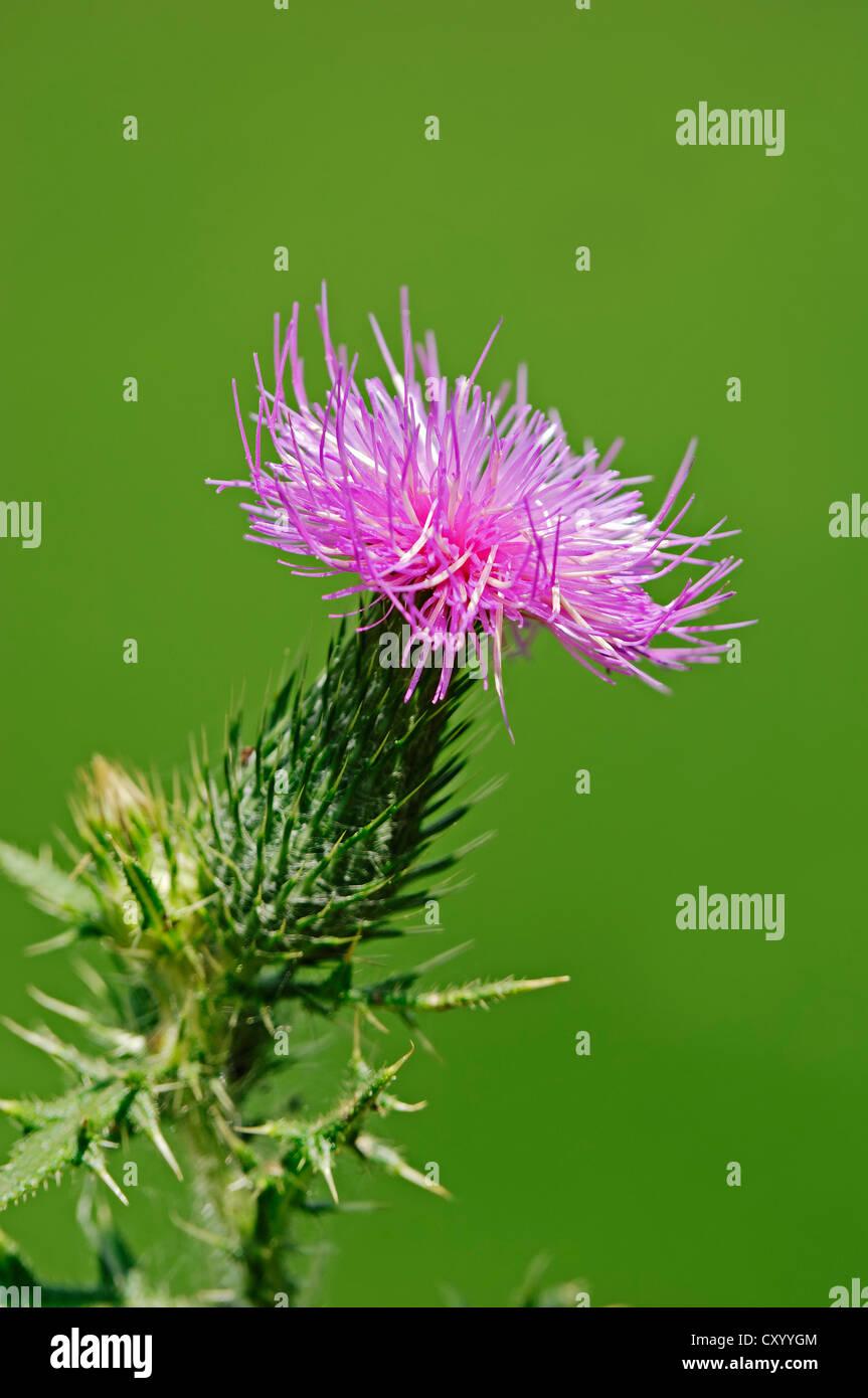Spear Thistle (Cirsium vulgare, Cirsium lanceolatum), flowering, North Rhine-Westphalia - Stock Image
