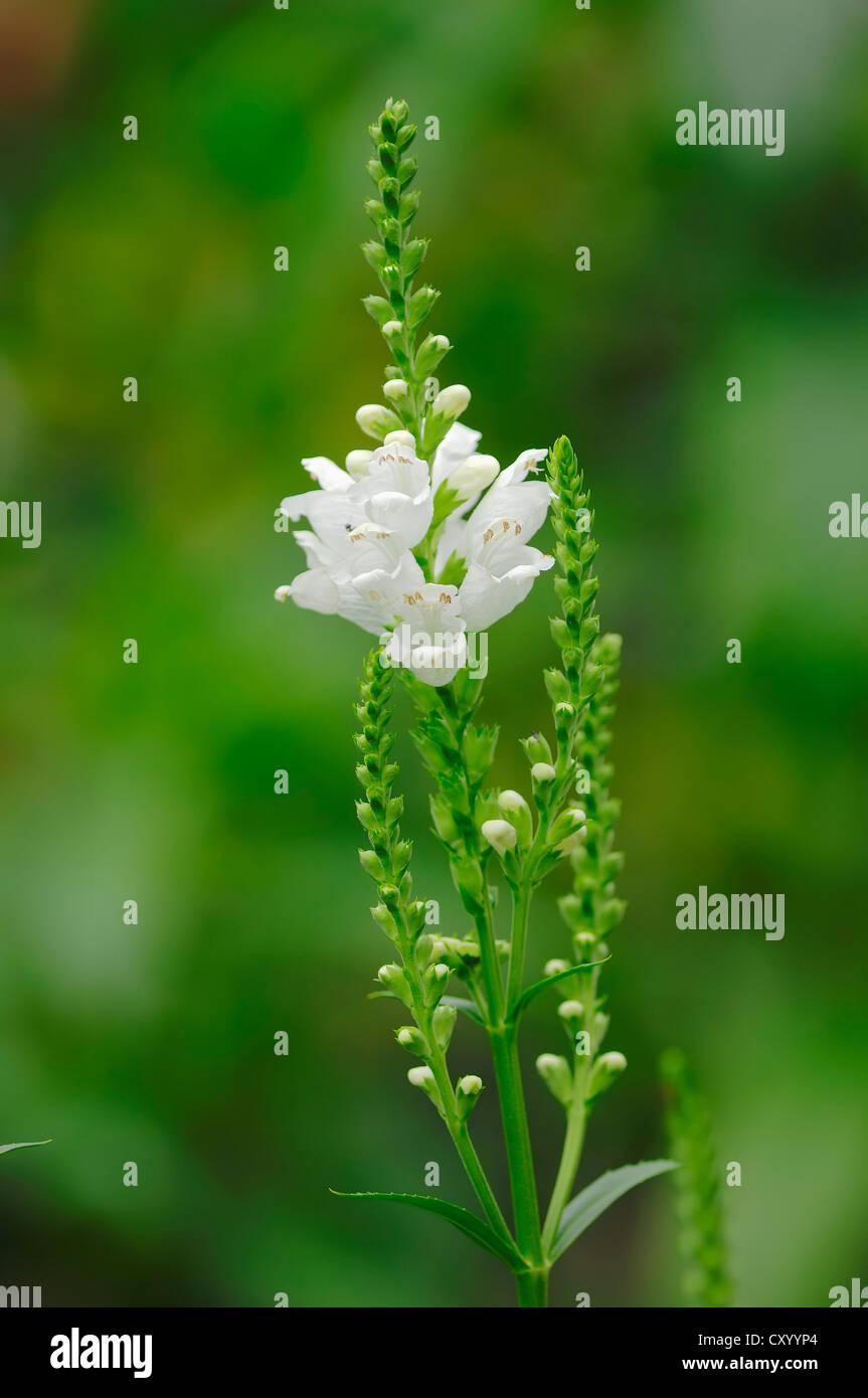 Obedient Plant or False Dragonhead (Physostegia virginiana), native to North America, garden plant - Stock Image